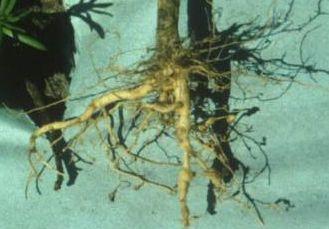 Háďátko kořenové