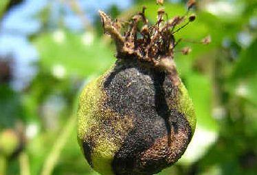 Plodomorka hrušňová