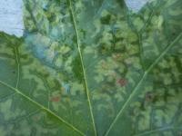 skvrny na listech ambroně
