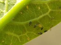 Pomoc s identifikaci - Skudci - avokado