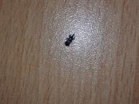 Co je to za černého brouka?
