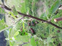 Brouci na ovocných stromech