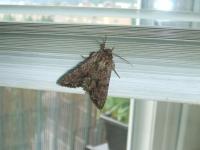 můra nebo motýl?