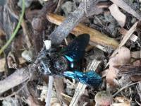 Identifikujte-černý sršňovitý hmyz