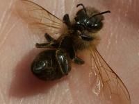 Včely v bytě