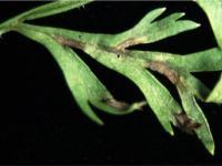 Cerkospora mrkvová