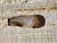 larva červotoče proužkovaného