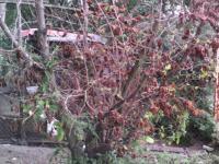 úmírání lískového ořechu