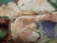 List poškozený Klíněnkou jírovcovou