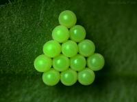černý brouk, zelená vajíčka