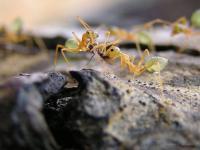 Mravenci, mravenec
