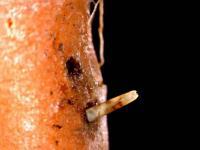 Pochmurnatka mrkvová