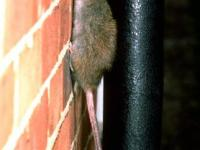 Potkani, potkan obecný