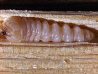 Tesařík krovový larva