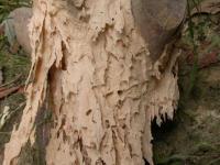 dřevo napadené tesaříkem krovovým
